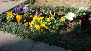 花壇のパンジー